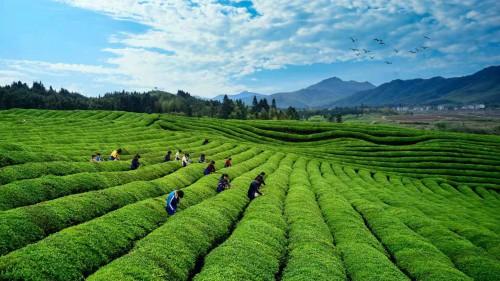 程龍:長憶浮梁風景好,最美茶鄉似故鄉